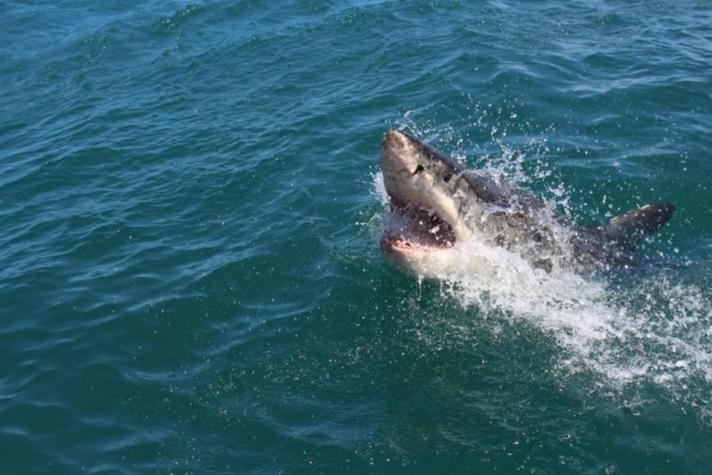 A Great White Shark hunting