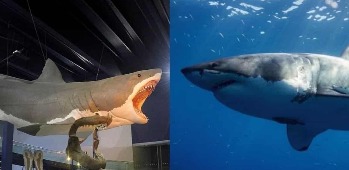 megalodon vs. great white shark