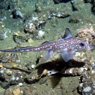Chimera ghost shark swimming