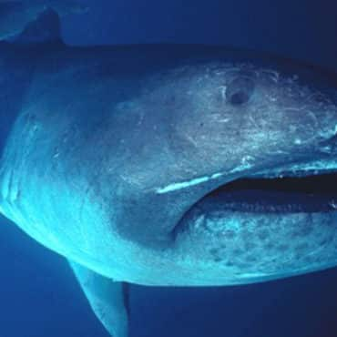 Megamouth shark swimming