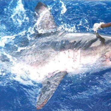  Salmon shark on fishing line